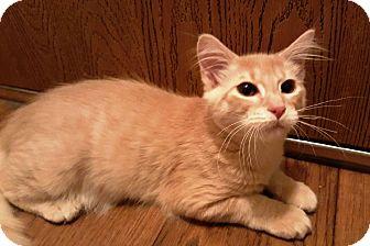 Domestic Shorthair Kitten for adoption in Anoka, Minnesota - Arthur