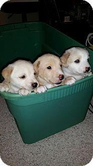 Corgi/Retriever (Unknown Type) Mix Puppy for adoption in Media, Pennsylvania - Violet