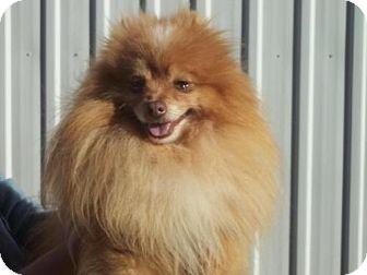 Pomeranian Dog for adoption in Conway, Arkansas - Manny