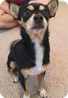 Chihuahua Mix Dog for adoption in San Antonio, Texas - Ethan
