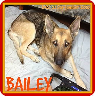 German Shepherd Dog Dog for adoption in Manchester, New Hampshire - BAILEY
