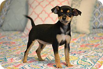 Miniature Pinscher/Chihuahua Mix Puppy for adoption in Staunton, Virginia - Fizz