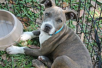 Staffordshire Bull Terrier Mix Puppy for adoption in Breaux Bridge, Louisiana - Zina