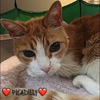 Adopt A Pet :: Picadilly - Great Neck, NY