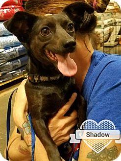 Chihuahua/Dachshund Mix Dog for adoption in Las Vegas, Nevada - Shadow 2