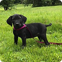 Adopt A Pet :: Louisa - Hagerstown, MD
