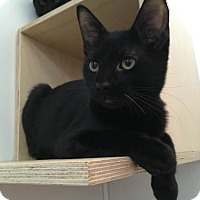 Domestic Shorthair Cat for adoption in San Francisco, California - Zipper