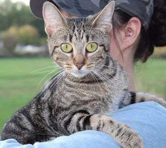 Domestic Shorthair/Domestic Shorthair Mix Cat for adoption in Anderson, Indiana - McKenna