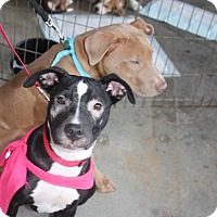 Pit Bull Terrier Puppy for adoption in Raleigh, North Carolina - Clarabell / Clarabelle