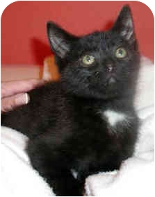 Domestic Shorthair Kitten for adoption in Troy, Michigan - Shadow