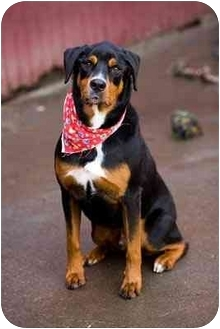 Rottweiler Mix Dog for adoption in Portland, Oregon - Evander