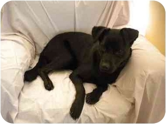 Labrador Retriever/Boxer Mix Dog for adoption in Rochester, New Hampshire - Blackie  adopted
