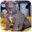 Photo 2 - Pit Bull Terrier Mix Puppy for adoption in Overland Park, Kansas - Peanut