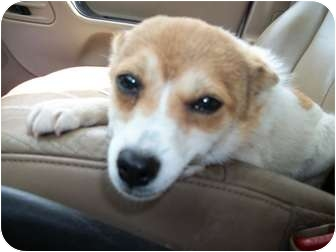 Chihuahua/Jack Russell Terrier Mix Dog for adoption in Centerville, Iowa - Sally