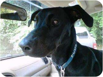 Labrador Retriever/Whippet Mix Dog for adoption in Harmony, North Carolina - Bella
