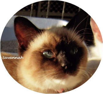 Siamese Kitten for adoption in Mandeville Canyon, California - Savannah