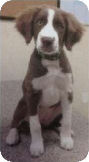 Springer Spaniel Mix Puppy for adoption in Haughton, Louisiana - Sabine kill shelter (PENNY)