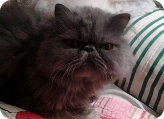Persian Cat for adoption in Columbus, Ohio - Winston