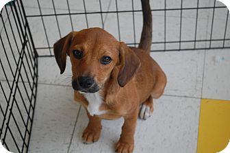 Shepherd (Unknown Type) Mix Puppy for adoption in Hainesville, Illinois - Hillary