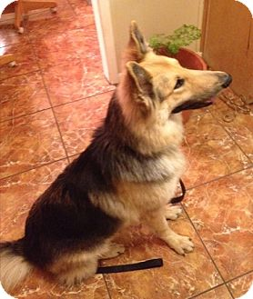 German Shepherd Dog Dog for adoption in Fort Worth, Texas - Silas
