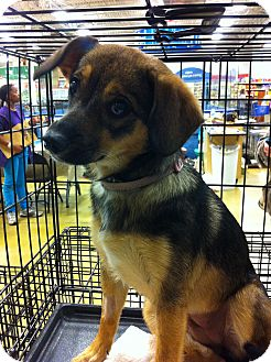Beagle/Chihuahua Mix Dog for adoption in Gainesville, Florida - Tina