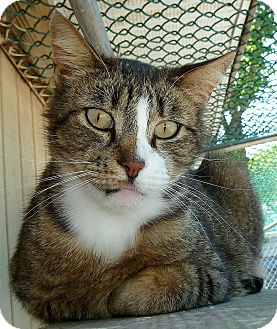 American Shorthair Cat for adoption in Carmel, New York - Baxter