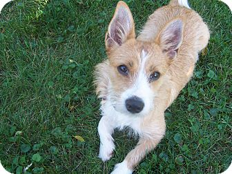 Cairn Terrier/Corgi Mix Puppy for adoption in Calumet City, Illinois - Taffee