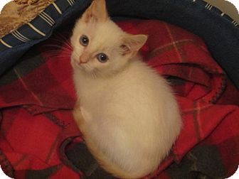 Siamese Kitten for adoption in Des Moines, Iowa - Snowball