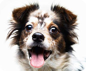Australian Shepherd/Spaniel (Unknown Type) Mix Dog for adoption in Santa Monica, California - Bali