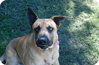 Shepherd (Unknown Type)/Labrador Retriever Mix Dog for adoption in McKinney, Texas - Rin Tin