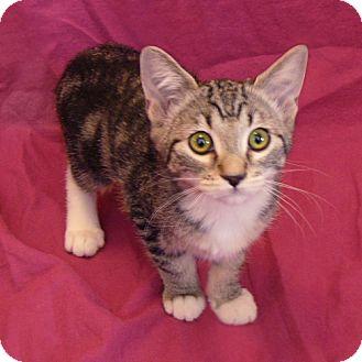 Domestic Mediumhair Kitten for adoption in Chandler, Arizona - Tally