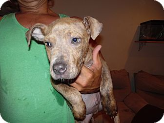 Pit Bull Terrier Mix Dog for adoption in Landers, California - GINO