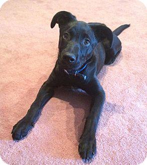 Labrador Retriever Mix Puppy for adoption in Saint Clair Shores, Michigan - Piston
