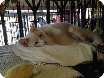 Siamese Cat for adoption in Tehachapi, California - Olaf