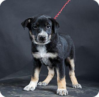 Australian Cattle Dog Mix Puppy for adoption in Nuevo, California - Cupcake