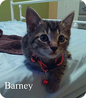 American Shorthair Kitten for adoption in Miami, Florida - Barney