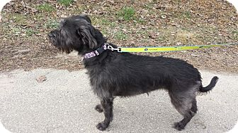Labradoodle/Schnauzer (Giant) Mix Dog for adoption in Davisburg, Michigan - Maizie