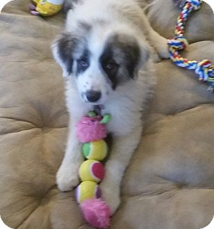 Great Pyrenees Mix Dog for adoption in Kyle, Texas - Pipkin/Sophie
