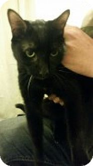 Domestic Shorthair Cat for adoption in McHenry, Illinois - Serenghetti