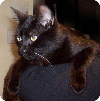 Domestic Shorthair Cat for adoption in Verdun, Quebec - Bella