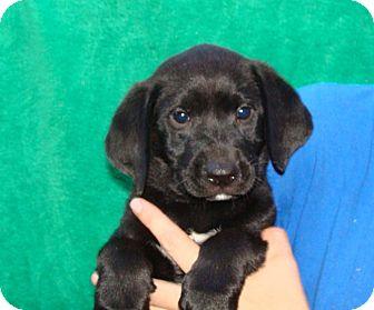 Labrador Retriever/Golden Retriever Mix Puppy for adoption in Oviedo, Florida - Flash