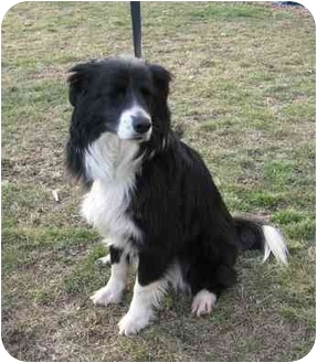 Border Collie Dog for adoption in Minerva, Ohio - Bailey