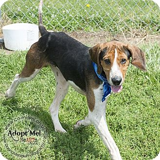 Coonhound Dog for adoption in Troy, Ohio - BoDean