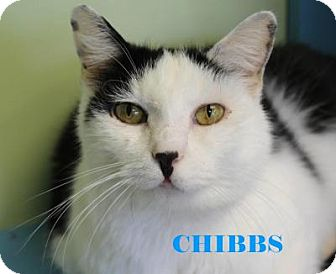 Domestic Shorthair Cat for adoption in Indianapolis, Indiana - Chibbs