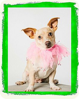 Chihuahua Mix Dog for adoption in Nanuet, New York - Hillary