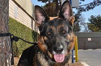 German Shepherd Dog Dog for adoption in Newport Beach, California - Easton
