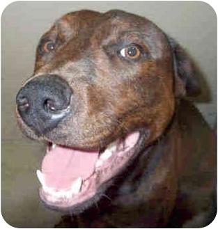 Labrador Retriever/Boxer Mix Dog for adoption in San Clemente, California - LOUIS