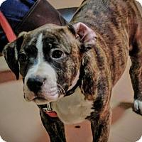 Adopt A Pet :: Mulder - Brattleboro, VT