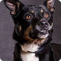 Shepherd (Unknown Type) Mix Dog for adoption in Owensboro, Kentucky - Pepper DRD program