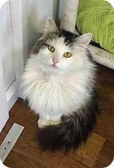Domestic Longhair Cat for adoption in Greensburg, Pennsylvania - Gladys